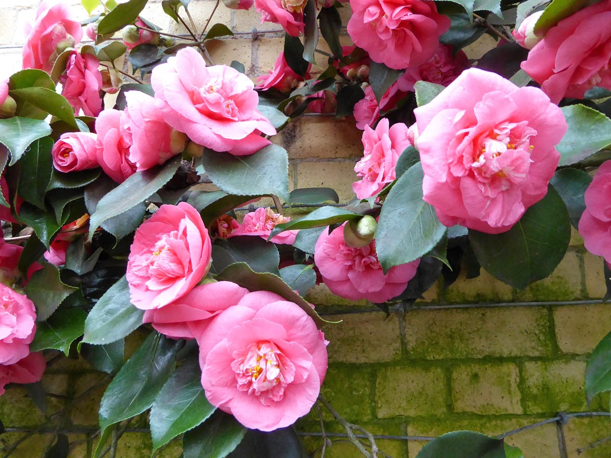 Camellias at Eaton Hall, Cheshire