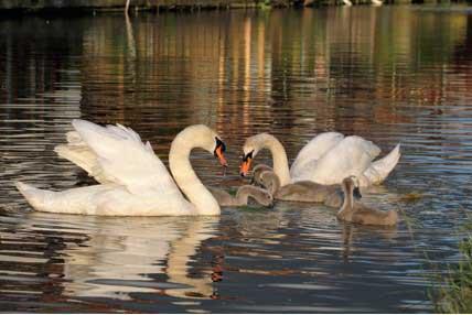 Christleton Swans