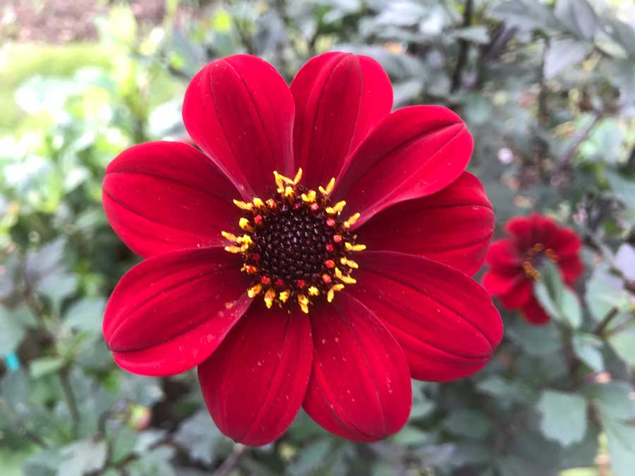 Bishop of Auckland Dahlia