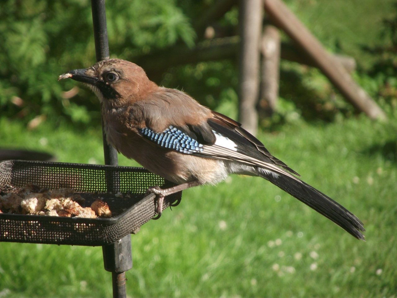 Bull finches
