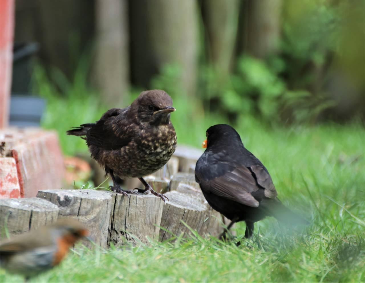 Blackbird feeding her young